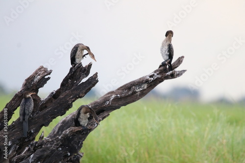 Fototapeta African Cormorants and Darter birds by the Chobe River in Botswana