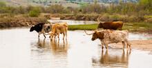 Texas Longhorn Cattle Crossing A River On A Ranch Near Woodward, Oklahoma