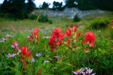 Indian Paintbrush In The Pale Cool Morning