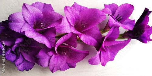 Cuadros en Lienzo fiori viola su sfondo bianco