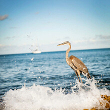 Heron On Ocean With Crashing W...