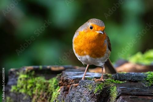 Robin redbreast ( Erithacus rubecula) bird a British European garden songbird wi Wallpaper Mural