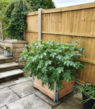 Potatoes Growing In A Raised Bed