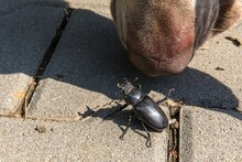 Close-up Photo Of Big Female Stag-beetle ( Lucanus Cervus ) On Concrete Pavement. The Dog Sniffs For The Beetle. Beetle And Dog Nose