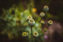 Poppy Seed Pod In The Garden W...