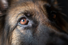 Closeup Of A German Shepherd Eye
