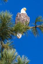 Perching Bald Eagle (Haliaeetu...