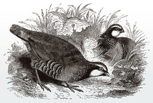 Two Red-legged Partridges, Alectoris Rufa Sitting In A Grassland, After An Antique Illustration From The 19th Century