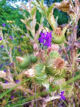 Old Tall Plant Thistle With Wild Field Flowers Bells