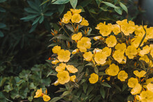 Common Evening Primrose (Oenot...