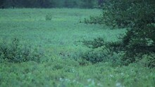 Whitetail Buck Stands Up From ...