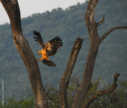 Africa- Birds- Golden Eagle Digging a Snake From a Tree Fotomurales
