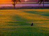Fototapeta Zwierzęta - Kruk na polu. Zachodzące słońce.