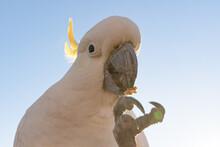Cockatoo Eating Seed Pretty Wi...