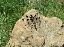 A Female Common Whitetail Dragonfly (Plathemis Lydia) On A Rock In The Sunlight