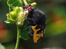 Yellow And Black Beetle On A F...
