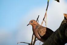 Beautiful Brown Zenaida Dove S...