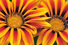 Attention-grabbing Closeup Of Two Vibrant Gazania Blossoms (African Daisy) With Brilliantly Colored Petals Of Yellow, Red, Orange, And Bronze.