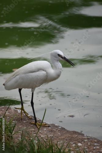 Canvas Print Garza de color blanco en una laguna