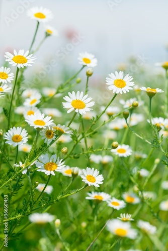 Naturally growing chamomile or daisy flowers