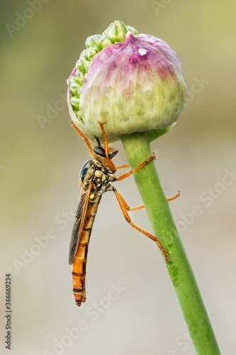 Photo robber fly tambien llamada mosca asesina por comerse las de su especie, debajo u