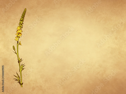 Yellow flower of agrimony plant on old paper background Canvas Print