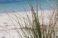 Common Rush Or Soft Rush (Juncus Effusus) (long Grass Like)  And Beach Background In The Wind. Silver Beach Sydney