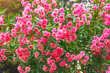Lush And Dense Bush Of Blooming Oleander In A Subtropical Park.
