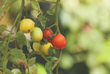 Green And Red Tomatoes On A Tomato Plant Hanging Upside Down.