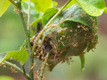 Green Tree Ants (Oecophylla Sm...