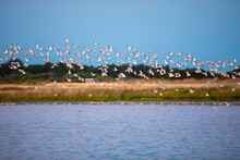 Avocets Flying Over The Water In The Marshland Of The Olonne Area In Vendee, France