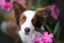 Dog Border Collie Portrait In ...