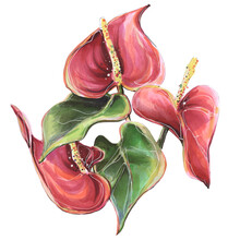 Flower Tropical Anthurium Red, Illustration Markers And Liners