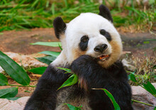 Portrait Giant Panda Bear Eati...