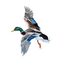 Duck Watercolor Painting Isola...