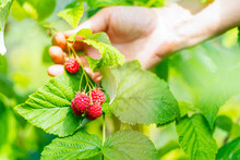 Cropped Hand Of Adult Woman Picking Raspberries From Plant At Farm. Closeup Of Raspberry Cane. Summer Garden In Village. Growing Berries Harvest At Farm