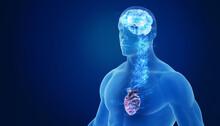 3d Brain And Heart Representin...
