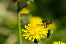 Yellow Sow Thistle Flowers, Be...