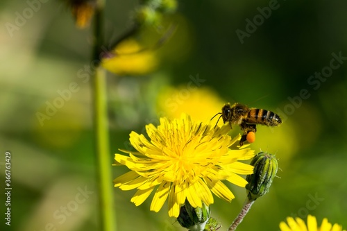 Obraz na plátně Yellow sow thistle flowers, being pollinated by a busy bee collecting pollen for honey