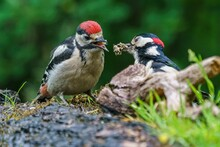 Closeup Shot Of A Mother Great Spotted Woodpecker Feeding Its Baby