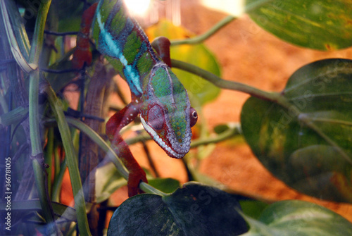 Photo A colorful chameleon blinking his eye