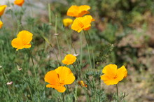Close Up Of Yellow Escholzia Flowers