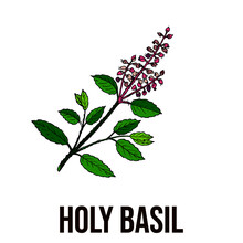 Vector Illustration Of Holy Basil Plant, Holy Basil Leaf With Flower