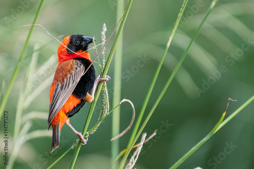 Southern red bishop (Euplectes orix) Fotobehang