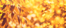 Beautiful Autumn Background Of Yellow Leaves In The Sunlight And Bokeh. Golden Foliage. Selective Soft Focus, Copy Space, Banner.