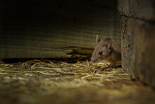Field Mouse (mus Musculus)