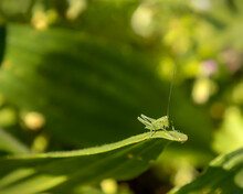 Cute Green Grasshopper Sitting...