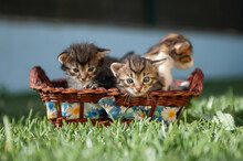 Charming Fluffy Kittens Resting In Wicker Basket On Green Grass In Park During Sunny Day