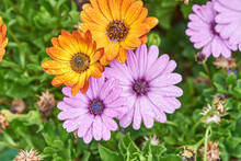 Closeup Of Bright Colorful Daisy Flowers With Water Drops On Petals Growing On Flowerbed In Spring Garden