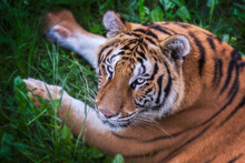 From Above Huge Tiger Lying On Grass In Colorful Jungle Near Trees With Small Leaves In Sunlight Looking At Camera